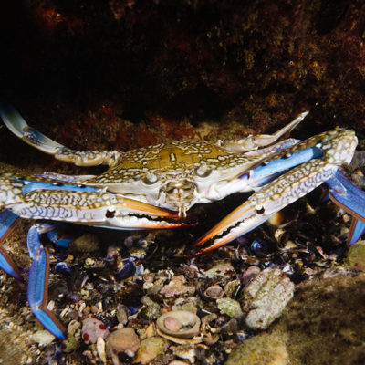 שייט כחול-  Portunus pelagicus- Blue swimmer crab