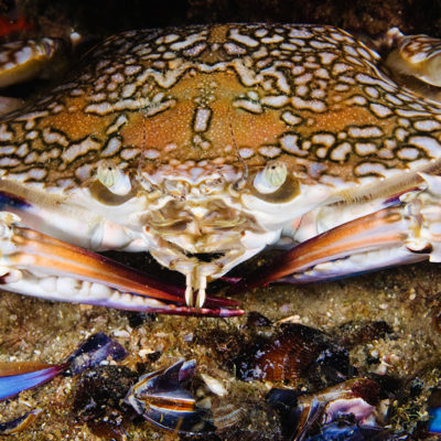 שייט כחול Portunus pelagicus- Blue swimmer crab