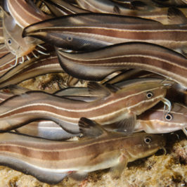 שפמית ארסית catfish - Plotosus lineatus